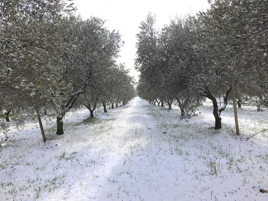 olve-trees-snow-winter-puglia-auguri-2019